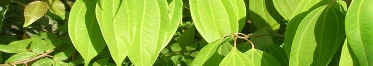 корица для похудения трава