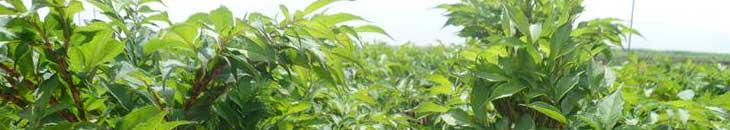 глюкоманнан. травы для похудения