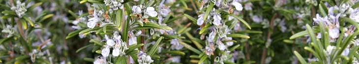 розмарин - трава для похудения