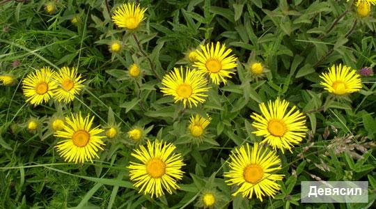 Девясил, травы для повышения аппетита