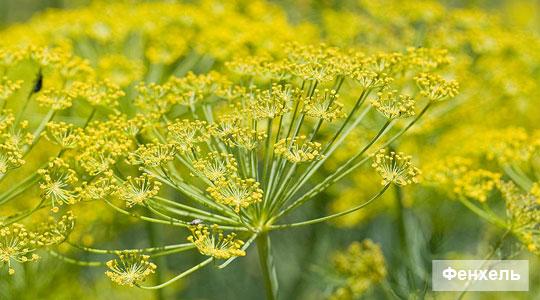 фенхель, fennel
