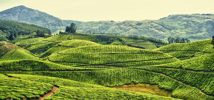 зеленый чай фото 4
