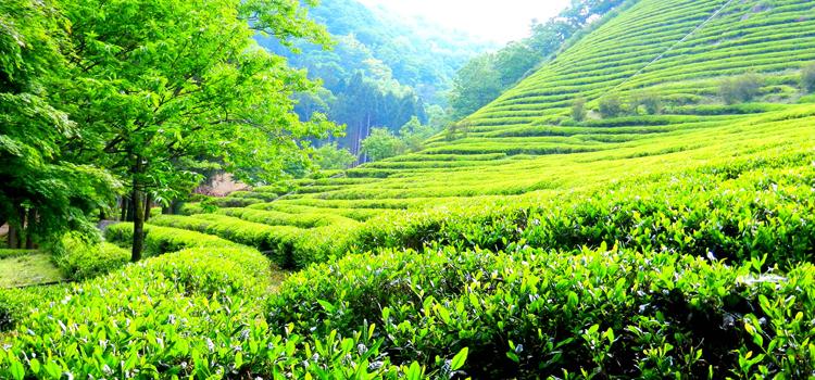 зеленый чай фото 2