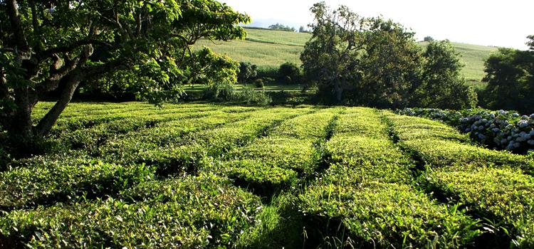 зеленый чай фото 1