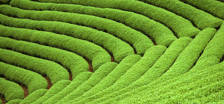 зеленый чай фото 10