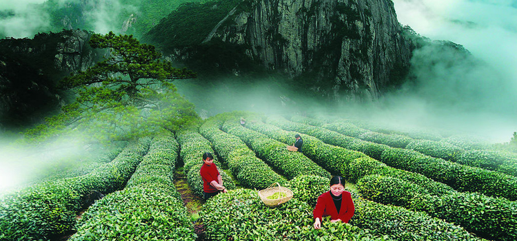 зеленый чай фото 8