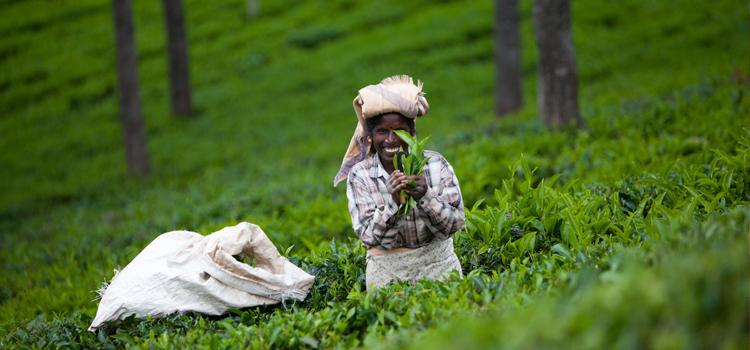 зеленый чай фото 7